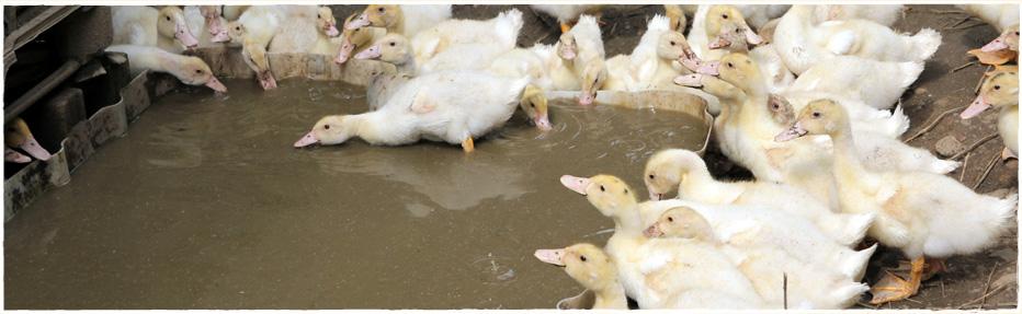 Unsere jungen Enten können bei schönen Wetter ins Freie und genießen auch gern ein kleines Bad.