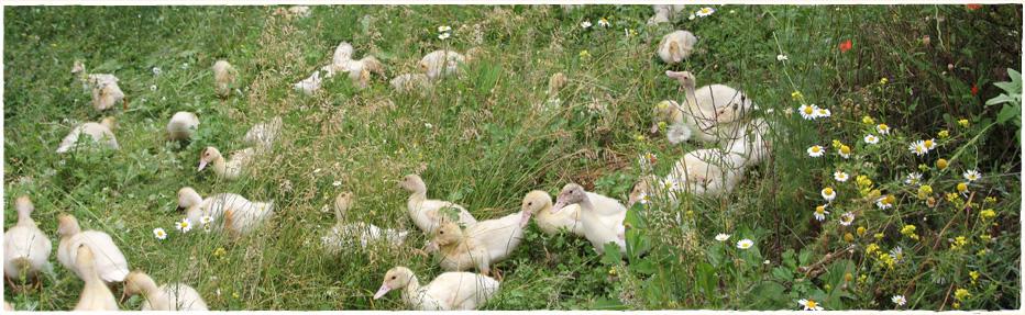 Auslauf und Grünfutter - unsere Enten leben ein artgerechtes Leben.