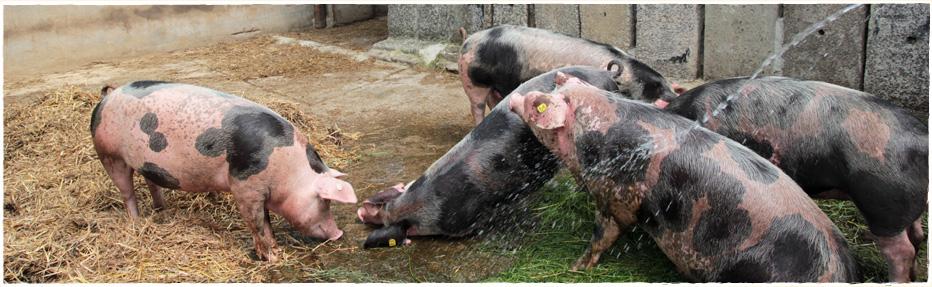 Unsere Bunten Bentheimer können sich frei in ihrem Auslaufstall bewegen und freuen sich über eine kleine Abkühlung mit dem Wasserschlauch.