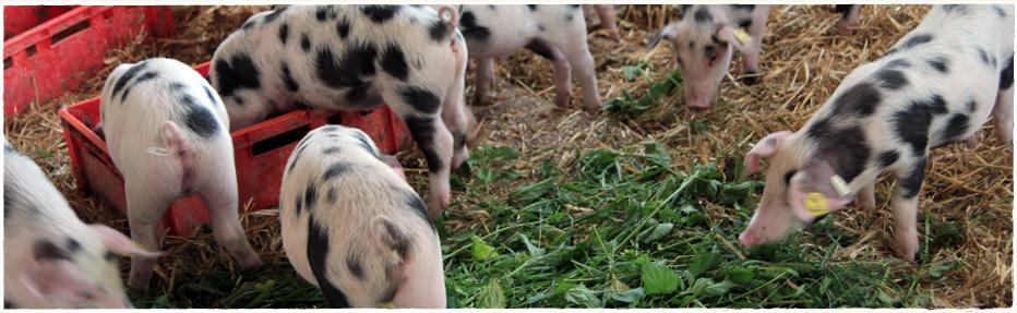 Unsere Ferkel haben viel Platz in ihrem mit Stroh ausgelegtem Stall und bekommen auch Grünfutter, was ihnen sichtlich schmeckt.
