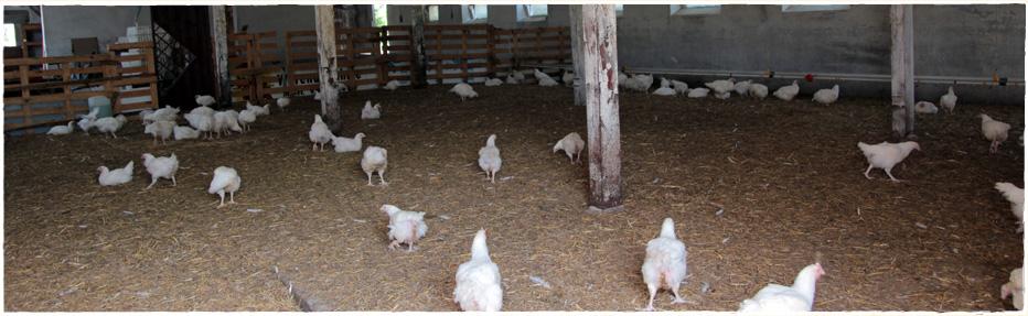 Der große Freuraumstall der Hähnchen - hier können sie sich frei bewegen...